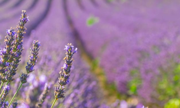 Lavender oil beats anxiety by stopping excessive neurotransmitter activity – study